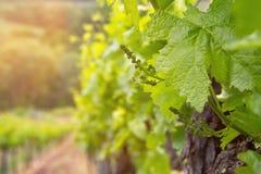 Поле вина Стоковые Фото
