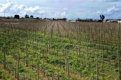 Поле виноградин в Marsaxlokk, Мальте Стоковые Изображения
