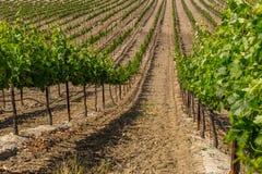 Поле виноградника Стоковые Изображения