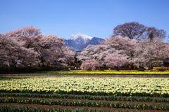 Поле вишневого дерева и narcissus Стоковая Фотография