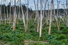 Поле высушенный hogweed Стоковое Изображение
