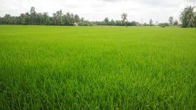 Поле в перепаде Меконга, Вьетнам риса Стоковое Изображение RF