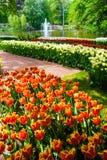 Поле в садах Keukenhof, Lisse тюльпана, Нидерланды Стоковые Изображения RF