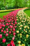 Поле в садах Keukenhof, Lisse тюльпана, Нидерланды Стоковое Изображение RF