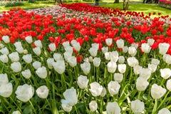 Поле в садах Keukenhof, Lisse тюльпана, Нидерланды Стоковая Фотография