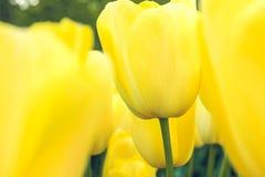 Поле в садах Keukenhof, Lisse тюльпана, Нидерланды Стоковая Фотография RF