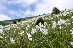 Поле горы poeticus Narcissus Стоковые Изображения RF