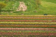 Поле Голландия Мичиган тюльпана весной Стоковые Фотографии RF
