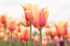 Поле Голландия Мичиган тюльпана желтого цвета и пинка пастельное Стоковое Изображение