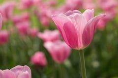 Поле Голландия Мичиган тюльпана довольно пастельного пинка Стоковое Изображение RF