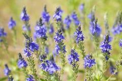 Поле голубых цветков лета Стоковое Фото