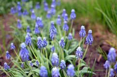 Поле голубых цветков Стоковые Фотографии RF