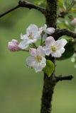 поле глубины яблока цветет отмелый вал Стоковые Фото