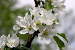 поле глубины яблока цветет отмелый вал стоковые изображения