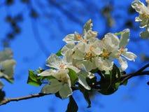 поле глубины яблока цветет отмелый вал Стоковое Фото