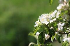 поле глубины яблока цветет отмелый вал Стоковое фото RF
