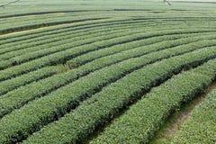 Поле дерева чая строки кривой большое Стоковая Фотография