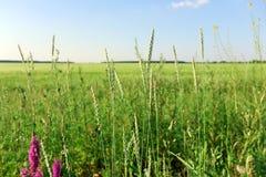 Поле лета травы Стоковые Фотографии RF
