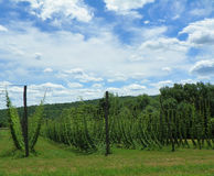 Поле лета хмелей растя в штат Нью-Йорк, который нужно сжать для индустрии пива ремесла Стоковые Фотографии RF