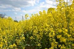 Поле желтого цветя рапса семени масличной культуры изолированного на пасмурном голубом небе в весеннем времени (napus) капусты, з Стоковые Изображения