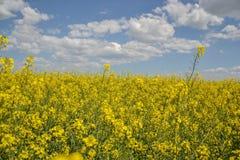 Поле желтого цветя рапса семени масличной культуры изолированного на пасмурном голубом небе в весеннем времени & x28; Napus& x29  Стоковое Изображение RF