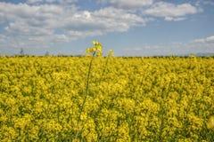 Поле желтого цветя рапса семени масличной культуры изолированного на пасмурном голубом небе в весеннем времени & x28; Napus& x29  Стоковые Фото
