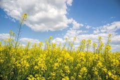 Поле желтого цветя рапса семени масличной культуры изолированного на пасмурном голубом небе в весеннем времени & x28; Napus& x29  Стоковые Фотографии RF