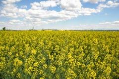Поле желтого цветя рапса семени масличной культуры изолированного на пасмурном голубом небе в весеннем времени & x28; Napus& x29  Стоковые Изображения