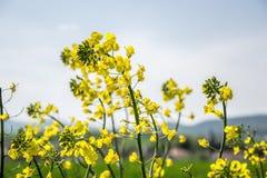 Поле желтого цветя рапса семени масличной культуры изолированного на пасмурном голубом небе в весеннем времени (napus) капусты, з Стоковое Изображение
