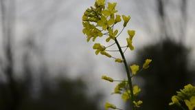 Поле желтого цветя napus капусты времени рапса семени масличной культуры весной Обмотайте дуть, близкий вверх зацветать канола, з сток-видео