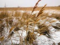Поле желтой травы в снеге Стоковое фото RF