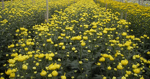 Поле желтой хризантемы Стоковые Изображения RF