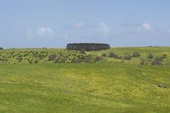 Поле желтых маргариток и линии сосен, зоны Fleurieu Стоковая Фотография RF