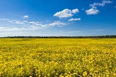 Поле желтых одуванчиков против голубого неба Стоковые Фото