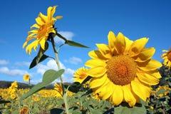 Поле желтых солнцецветов Стоковое фото RF