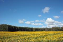 Поле желтых солнцецветов Стоковая Фотография RF