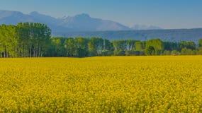 поле желтых цветков рапса загоренных по солнцу Стоковое фото RF