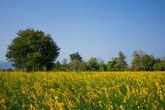 Поле желтых цветков. Стоковое фото RF