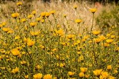 Поле желтых цветков Стоковое Изображение RF