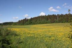 Поле желтых цветков Стоковое Изображение
