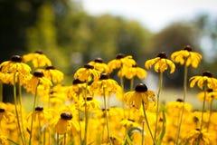 Поле желтых цветков Стоковое фото RF