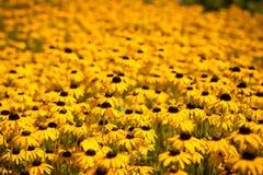 Поле желтых цветков Стоковые Фото