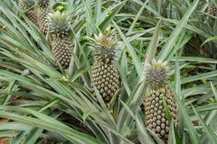 Поле завода ананаса Стоковое фото RF