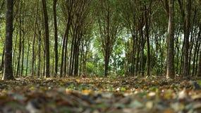 Поле завода brasiliensis резинового дерева или гевеи Стоковое Изображение