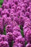 Поле заполненное с розовыми гиацинтами стоковое фото rf