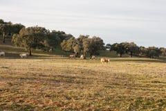 Поле заполнило с коровами в Alentejo, Португалии Стоковая Фотография RF