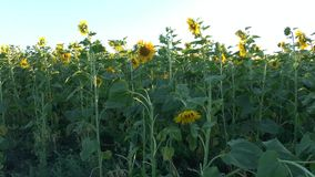 Поле засеяно с солнцецветом сток-видео