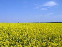 Поле зацветая желтого lupine Стоковая Фотография RF