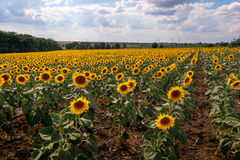 Поле зацветая солнцецветов против голубого неба Стоковые Изображения