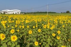 Поле зацветая солнцецветов Стоковое Фото